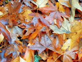 Autumn Leaves by gromten