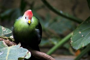Red-Crested Turaco by LiveLaughLove190