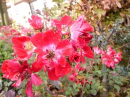 Red Flowers 2 by MsCassyK-Stocks