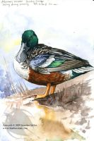 Shoveler - Watercolor Study by Nambroth