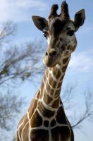 Giraffe by jake10684