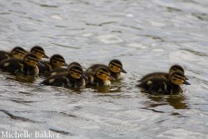 Ducklings by MichelleB-Stock