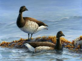 Atlantic Brant by Nambroth