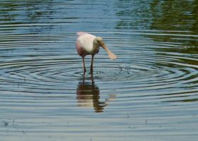 Pink Spoonbill by Toxicheartproduction