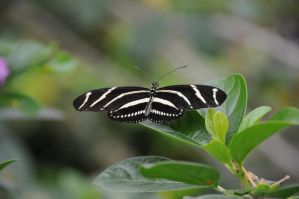 Zebra Butterfly by UnknownMission