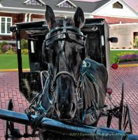Amish Horse by johnanthony1022