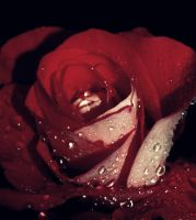 rose by LirianaPhotography