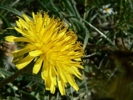 Usual dandelion by Clairei