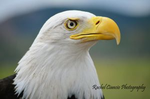 Bald Eagle by rachkitty