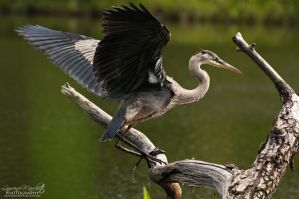 Majestic great heron by Gallynette