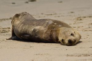 Sickly Sea Lion by robert-kim-karen