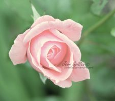Rose II. by Jennifaa