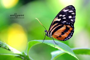 Common Tiger Glassywing by wolfywox