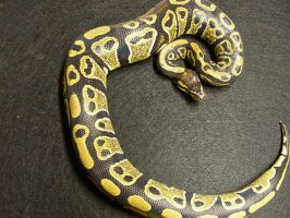 Labyrinth Ball Python by pitbulllady