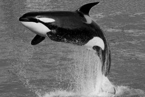 Killer Whale by sixsecondsless