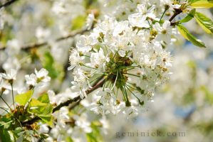 Cherry Blossoms by geminick