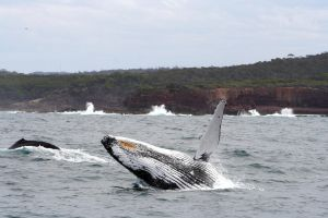 Humpback Whale 5280 by Kwayera