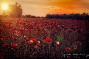 Sunny poppies by Piroshki-Photography