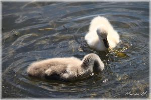 Young swans by oxalysa