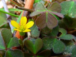 Fall Clover by JMPorter