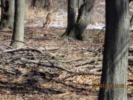 Deer  i saw at ojibway 1 by catsvsfox