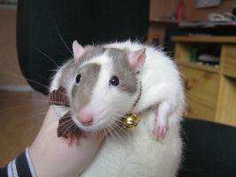 Rat with collar  2 by OP-Girl16