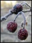 Winter Berries by Wilhelmine