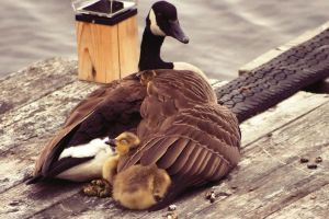 Goose protecting babies from cold by jonathanfaulkner