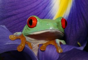 Frog amongst the Irises by AngiWallace