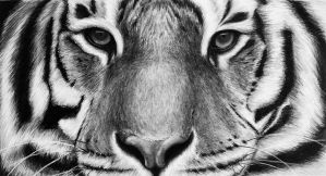 Tiger drawing by fabien804