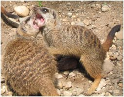 Fighting Meerkats by roes