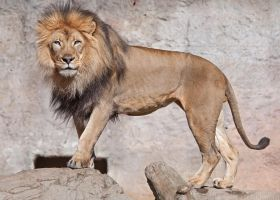 African Lion 2070 by robbobert
