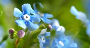 Forget me Not by piximi