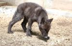Gray Wolf Stock 37: Black Wolf Pup by HOTNStock