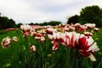 Field of tulpen by venigesheva