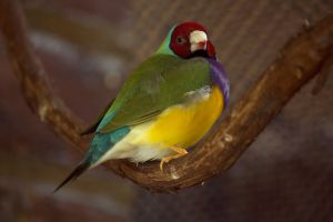 Lady Gouldian Finch by toshema