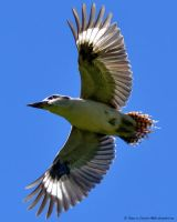 Laughing Kookaburra in Flight by Creative-Addict
