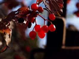 berries by krista-perse