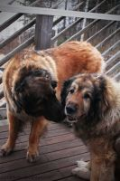 Affection Between Dogs by purrSPhoto