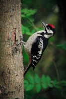Great Spotted Woodpecker by RLPhotographs