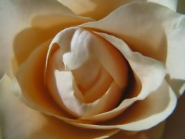 Rose serie by stock1-2-3