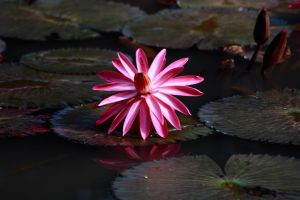 water lily 2 by fantanicity