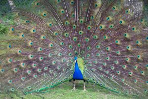 Peacock display 2 by Steve-FraserUK