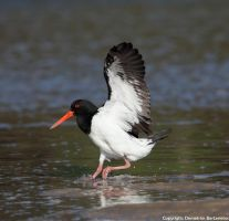 Australian Pied Oystercatcher by SirTimid