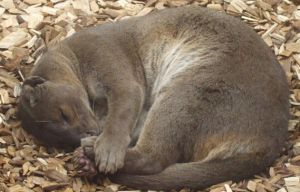 sleeping fossa by puppyluv94