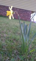Daffodil by withinmeloveresides1