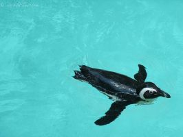 Black-footed Penguin by RachaelRose