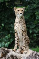 Cheetah by Saromei