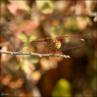 Some dragonfly by Cassiopeeh