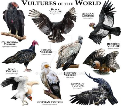Vultures of the World by rogerdhall